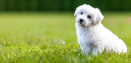 Dog Grooming Breed - Bichon Frise