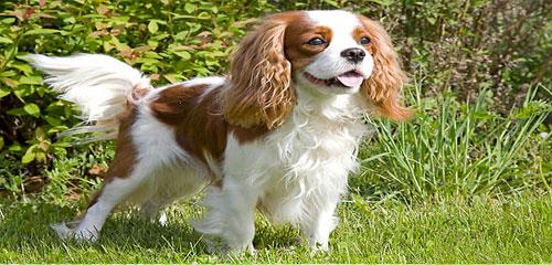 Dog Grooming Breed - Cavalier King Charles Spaniel