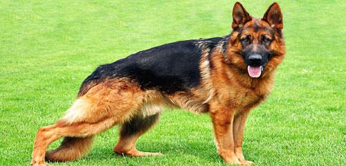 Dog Grooming Breed - German Shepherd