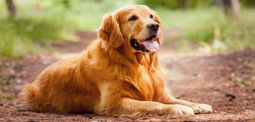 Dog Grooming Breed - Golden Retriever