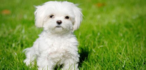 Dog Grooming Breed - Maltese