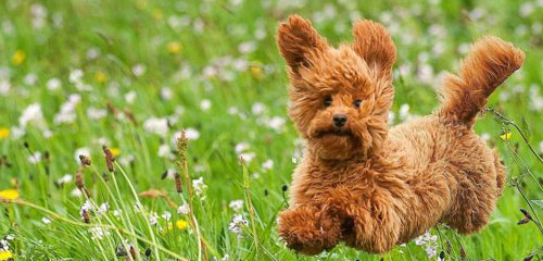 Dog Grooming Breed - Miniature Poodle