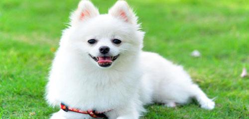Dog Grooming Breed - Pomeranian