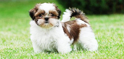 Dog Grooming Breed - Shih Tzu