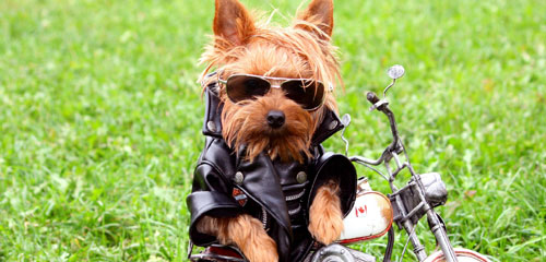 Dog Grooming Breed - Yorkshire Terrier